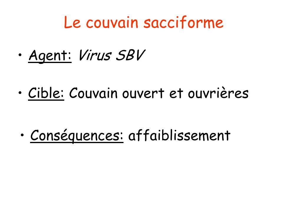 Symptômes du couvain sacciforme Couvain en mosaïque Larves sèches noirâtres