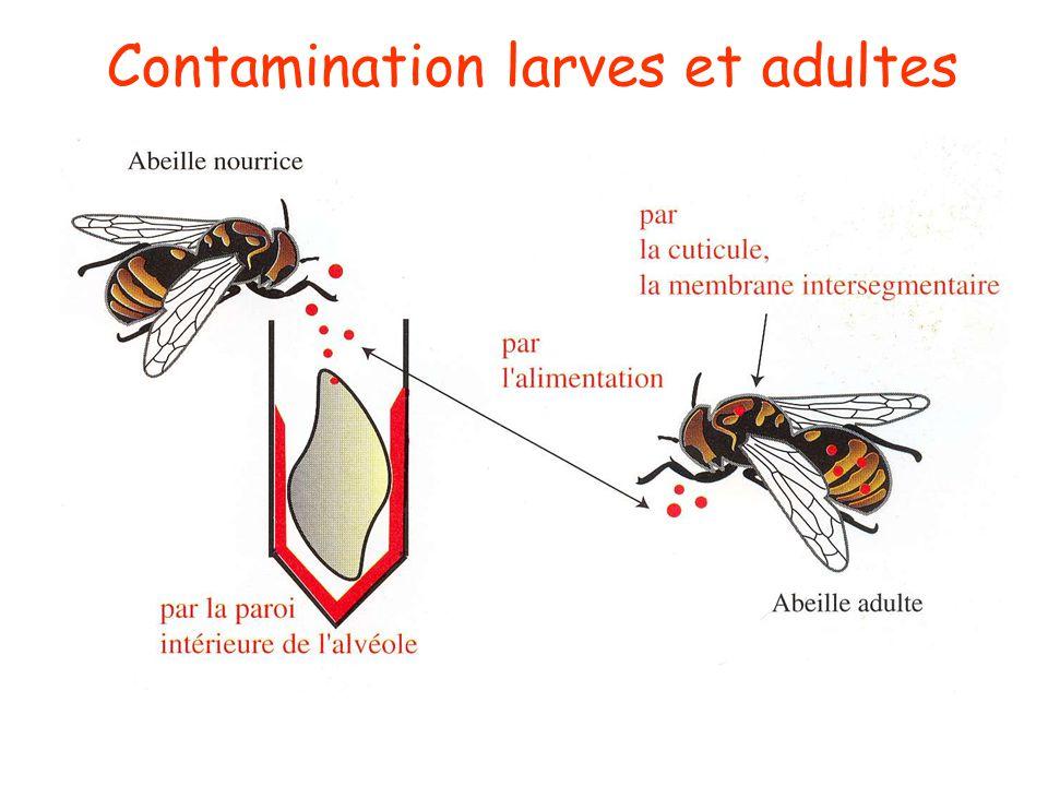 Les cellules: nid à pathogènes Accumulation des cocons des nymphes et stockage des spores de maladies et d'agents chimiques