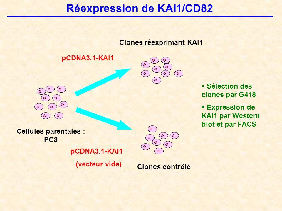 Réexpression de KAI1/CD82 Cellules parentales : PC3 Clones contrôle Clones réexprimant KAI1 pCDNA3.1-KAI1 (vecteur vide)  Sélection des clones par G418  Expression de KAI1 par Western blot et par FACS