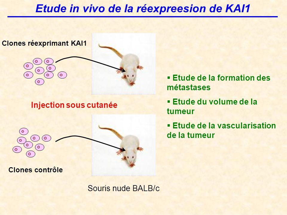 Etude in vivo de la réexpreesion de KAI1 Clones réexprimant KAI1 Clones contrôle Injection sous cutanée  Etude de la formation des métastases  Etude du volume de la tumeur  Etude de la vascularisation de la tumeur Souris nude BALB/c