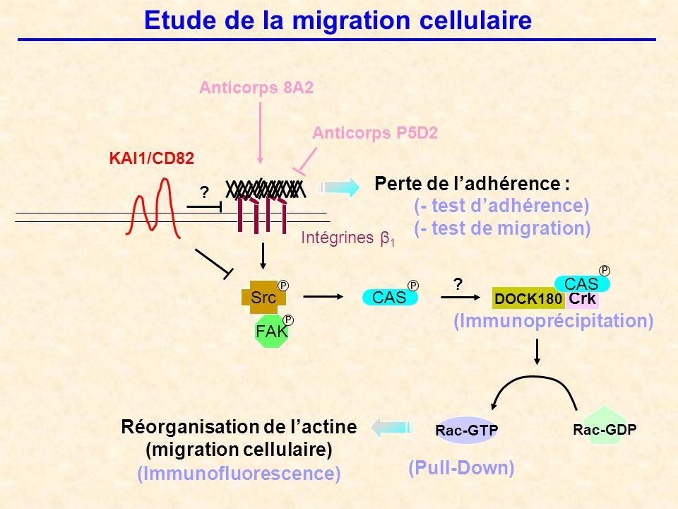 Etude de la migration cellulaire KAI1/CD82 Intégrines β 1 Src CAS FAK Réorganisation de l'actine (migration cellulaire) ? Perte de l'adhérence : (- te