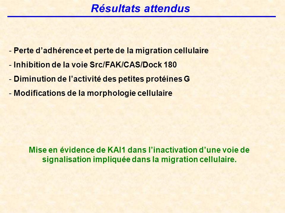 Résultats attendus - Perte d'adhérence et perte de la migration cellulaire - Inhibition de la voie Src/FAK/CAS/Dock 180 - Diminution de l'activité des petites protéines G - Modifications de la morphologie cellulaire Mise en évidence de KAI1 dans l'inactivation d'une voie de signalisation impliquée dans la migration cellulaire.