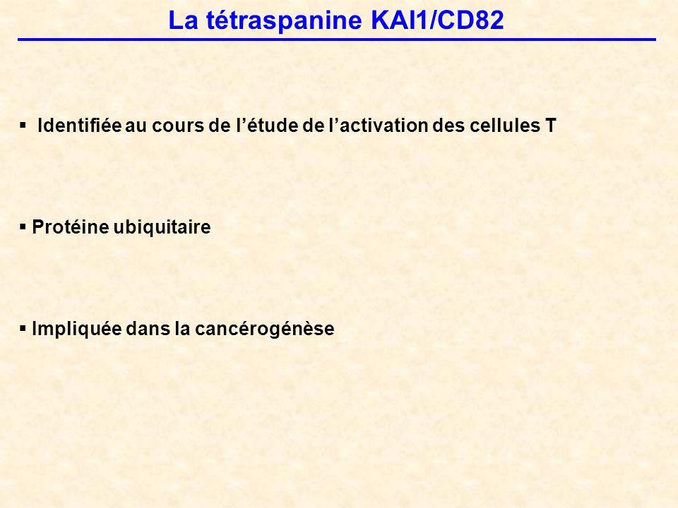 La tétraspanine KAI1/CD82  Identifiée au cours de l'étude de l'activation des cellules T  Protéine ubiquitaire  Impliquée dans la cancérogénèse