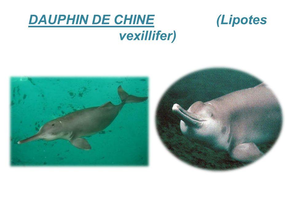 DAUPHIN DE CHINE (Lipotes vexillifer)