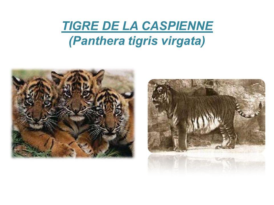 TIGRE DE LA CASPIENNE (Panthera tigris virgata)