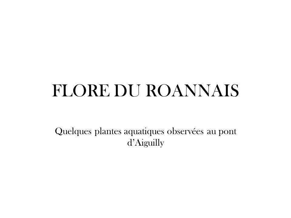 FLORE DU ROANNAIS Quelques plantes aquatiques observées au pont d'Aiguilly