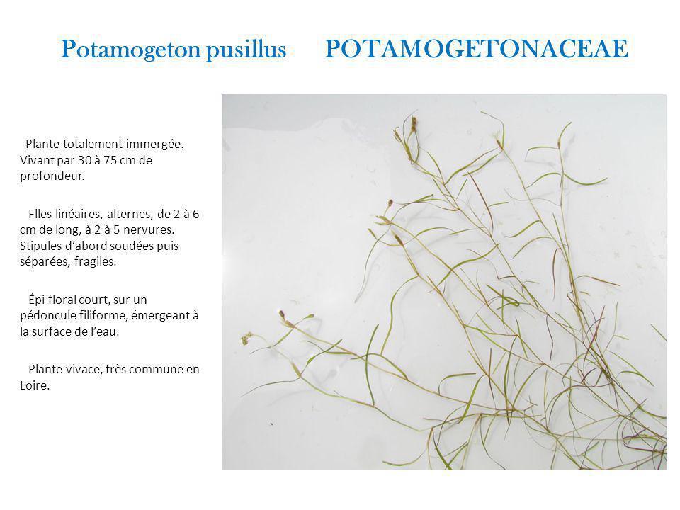Potamogeton pusillus POTAMOGETONACEAE Plante totalement immergée.