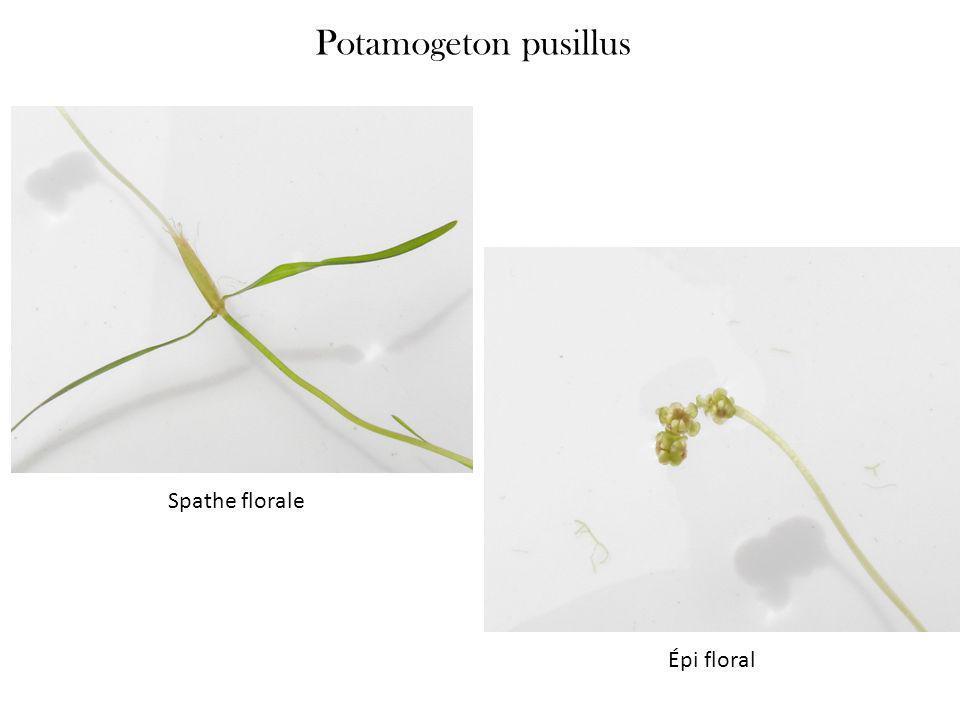 Potamogeton pusillus Spathe florale Épi floral