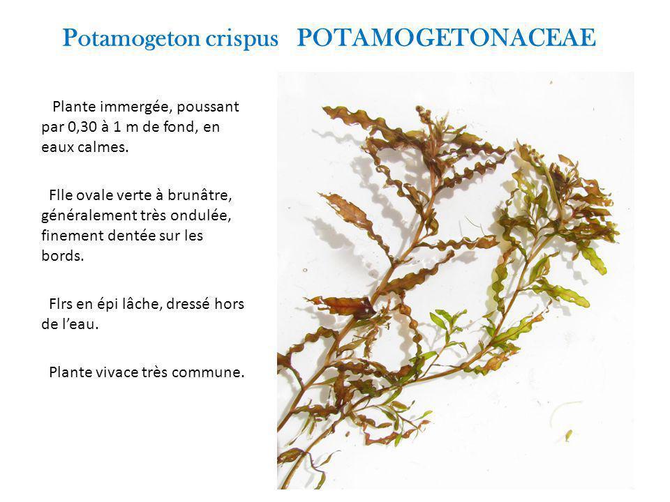 Potamogeton crispus POTAMOGETONACEAE Plante immergée, poussant par 0,30 à 1 m de fond, en eaux calmes.