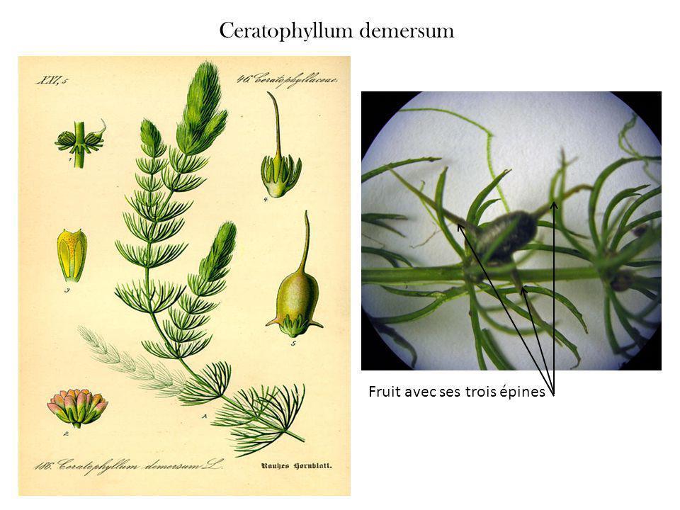 Ceratophyllum demersum Fruit avec ses trois épines