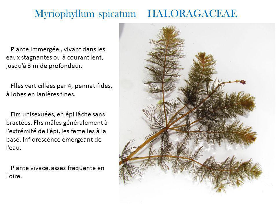 Myriophyllum spicatum HALORAGACEAE Plante immergée, vivant dans les eaux stagnantes ou à courant lent, jusqu'à 3 m de profondeur.