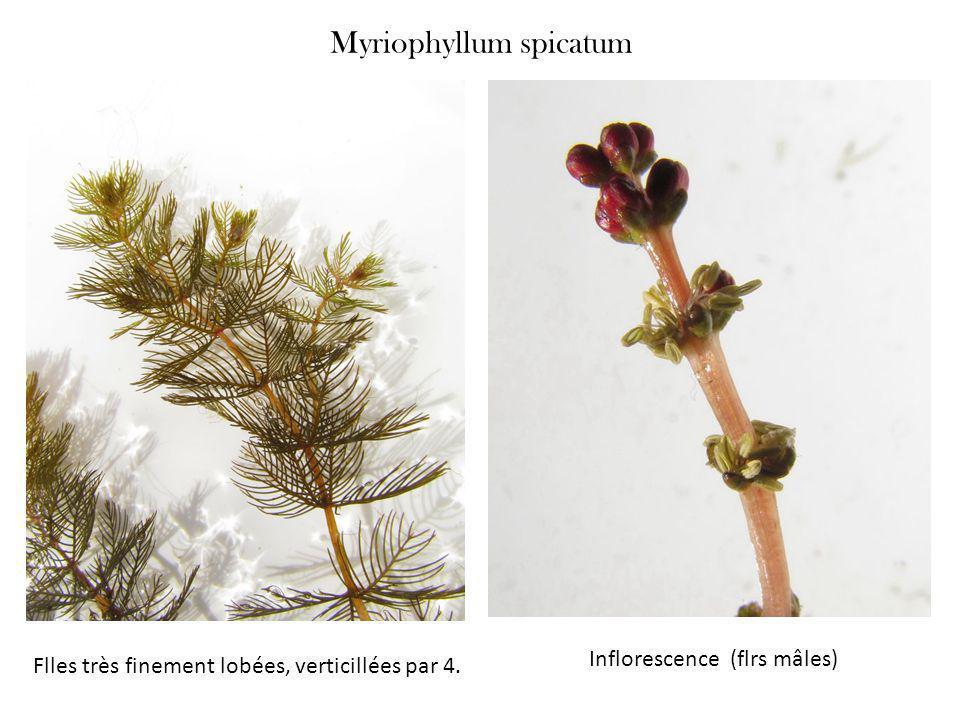 Myriophyllum spicatum Flles très finement lobées, verticillées par 4. Inflorescence (flrs mâles)