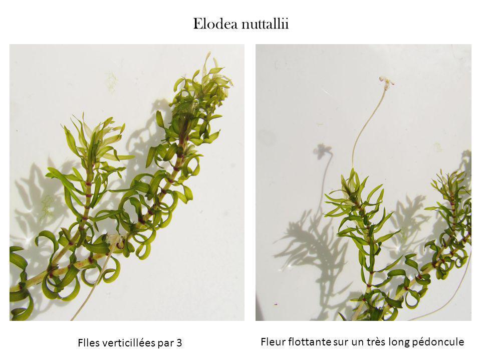 Elodea nuttallii Flles verticillées par 3 Fleur flottante sur un très long pédoncule