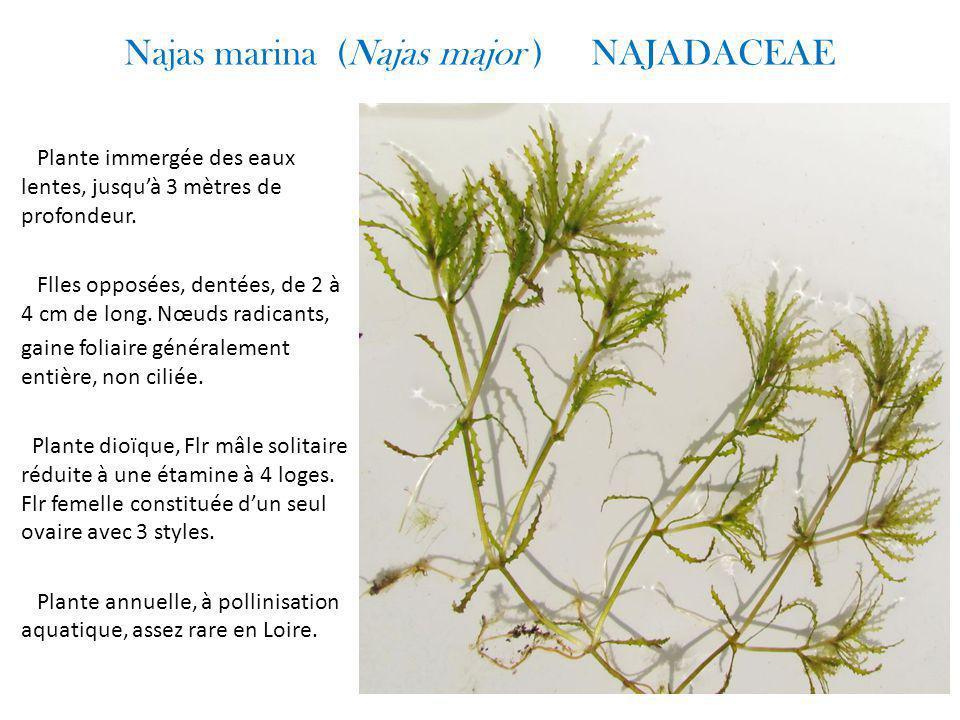 Najas marina (Najas major ) NAJADACEAE Plante immergée des eaux lentes, jusqu'à 3 mètres de profondeur.