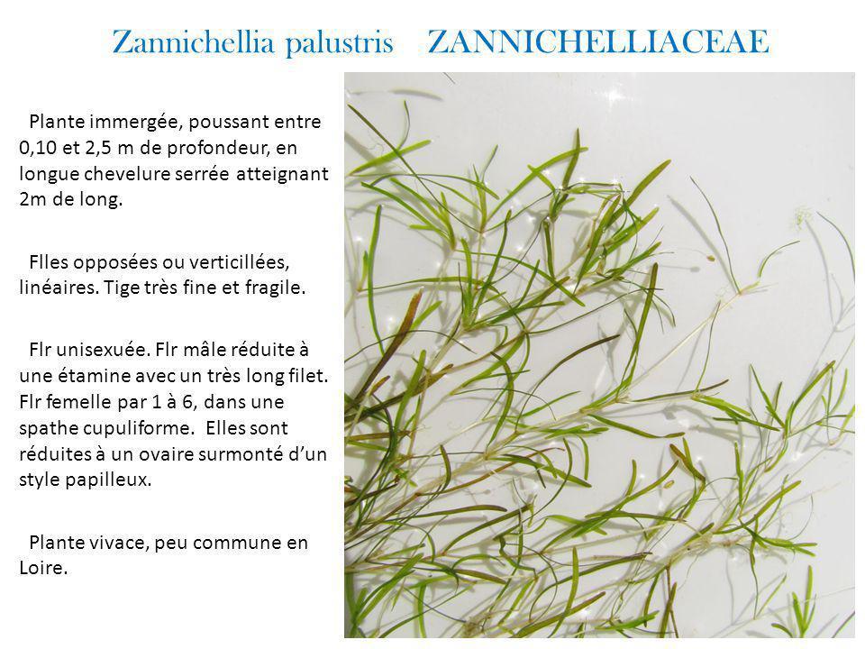 Zannichellia palustris ZANNICHELLIACEAE Plante immergée, poussant entre 0,10 et 2,5 m de profondeur, en longue chevelure serrée atteignant 2m de long.