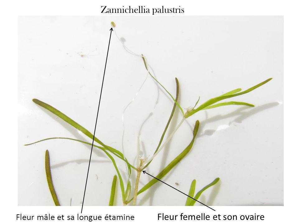 Zannichellia palustris Fleur mâle et sa longue étamine Fleur femelle et son ovaire