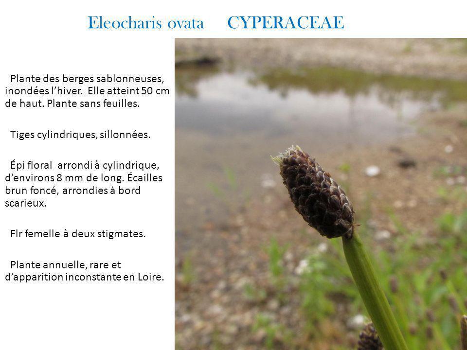 Eleocharis ovata CYPERACEAE Plante des berges sablonneuses, inondées l'hiver.