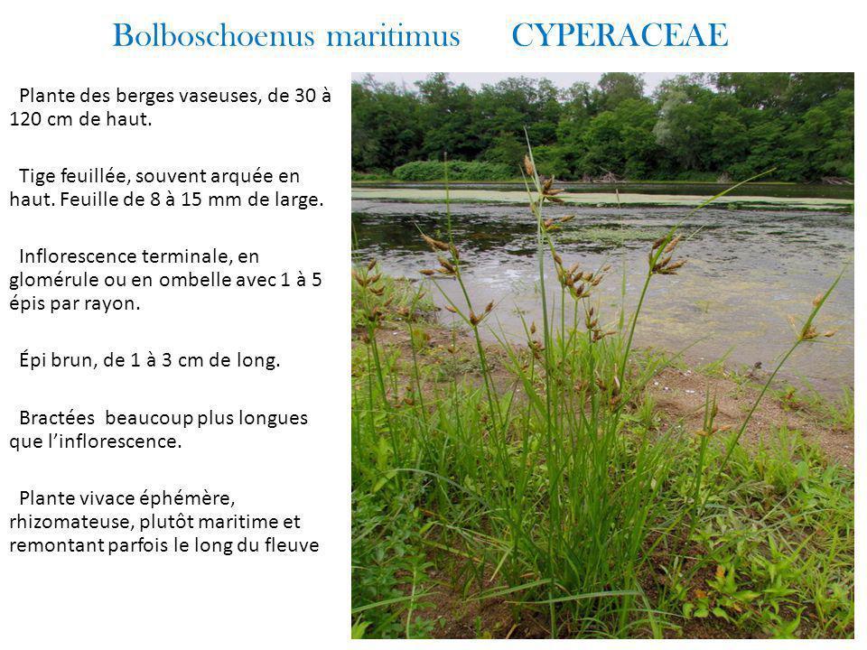 Bolboschoenus maritimus CYPERACEAE Plante des berges vaseuses, de 30 à 120 cm de haut.
