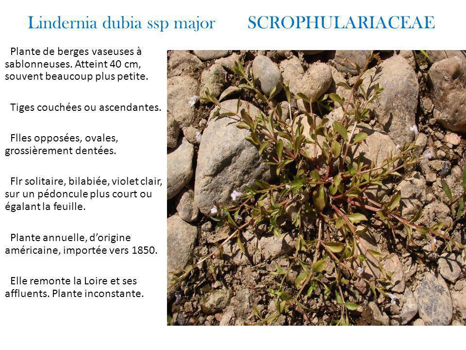 Lindernia dubia ssp major SCROPHULARIACEAE Plante de berges vaseuses à sablonneuses.