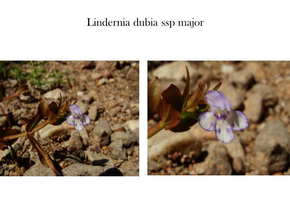 Lindernia dubia ssp major