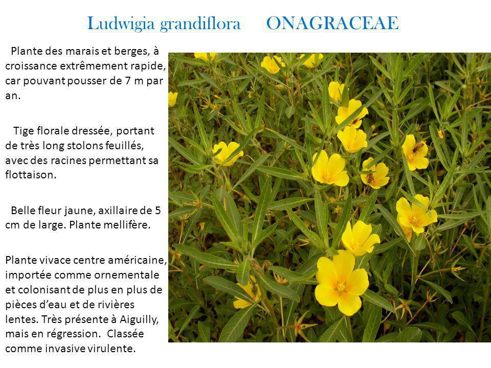 Ludwigia grandiflora ONAGRACEAE Plante des marais et berges, à croissance extrêmement rapide, car pouvant pousser de 7 m par an.