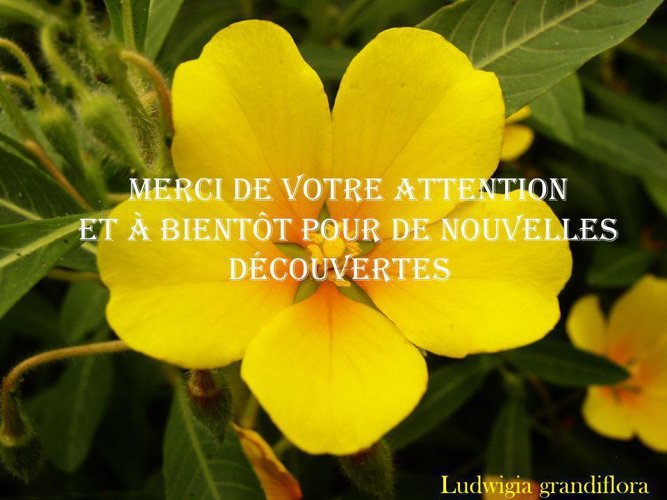 Ludwigia grandiflora Merci de votre attention et à bientôt pour de nouvelles découvertes