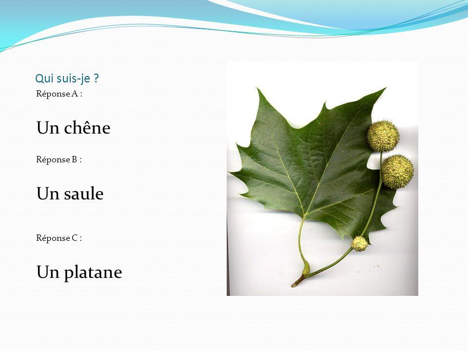 Qui suis-je ? Réponse A : Un chêne Réponse B : Un saule Réponse C : Un platane