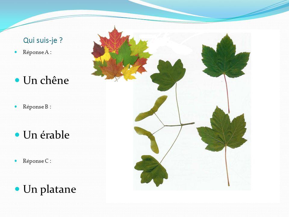 Réponse A : Un chêne Réponse B : Un érable Réponse C : Un platane Qui suis-je ?