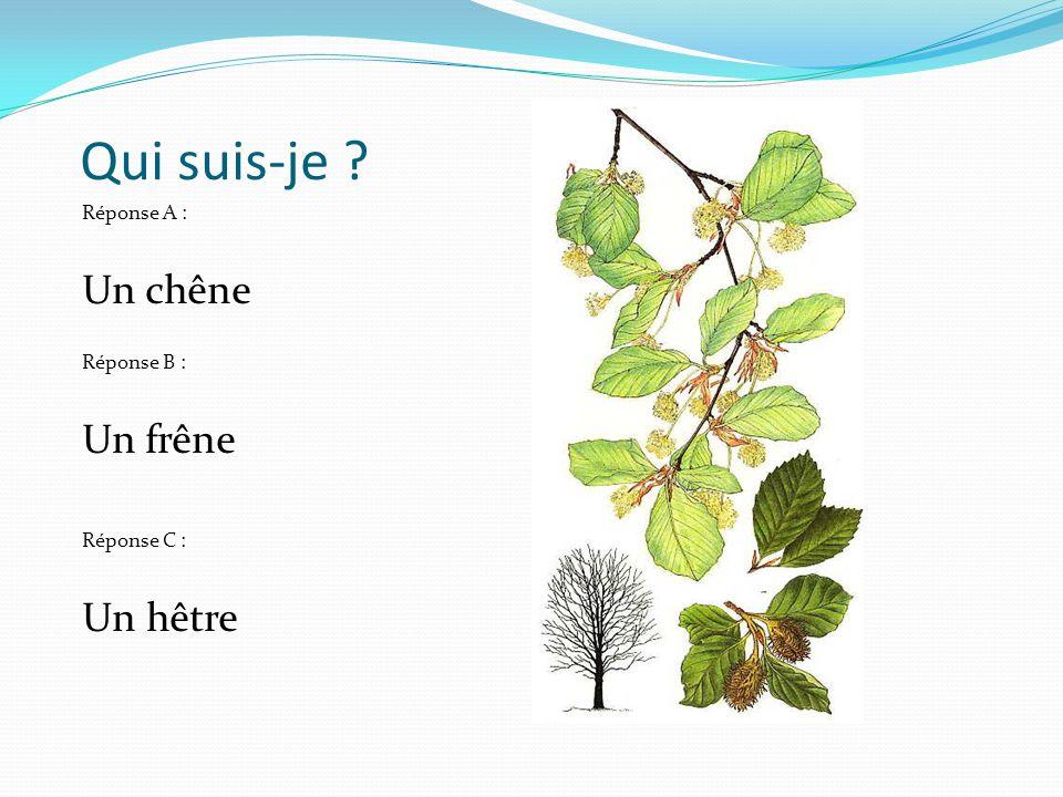 Qui suis-je ? Réponse A : Un chêne Réponse B : Un frêne Réponse C : Un hêtre