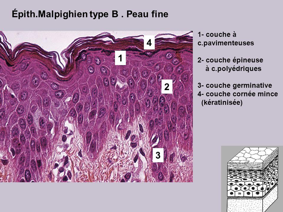 Épith.Malpighien type B. Peau fine 3 4 2 1 1- couche à c.pavimenteuses 2- couche épineuse à c.polyédriques 3- couche germinative 4- couche cornée minc