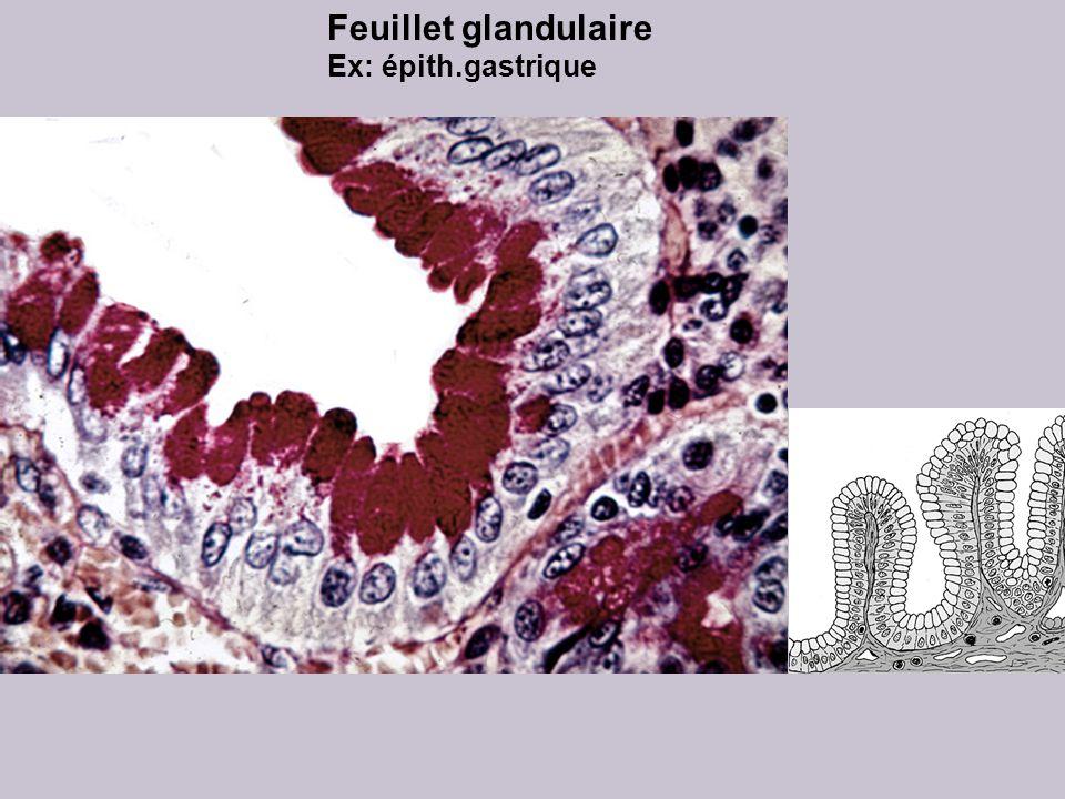 Feuillet glandulaire Ex: épith.gastrique