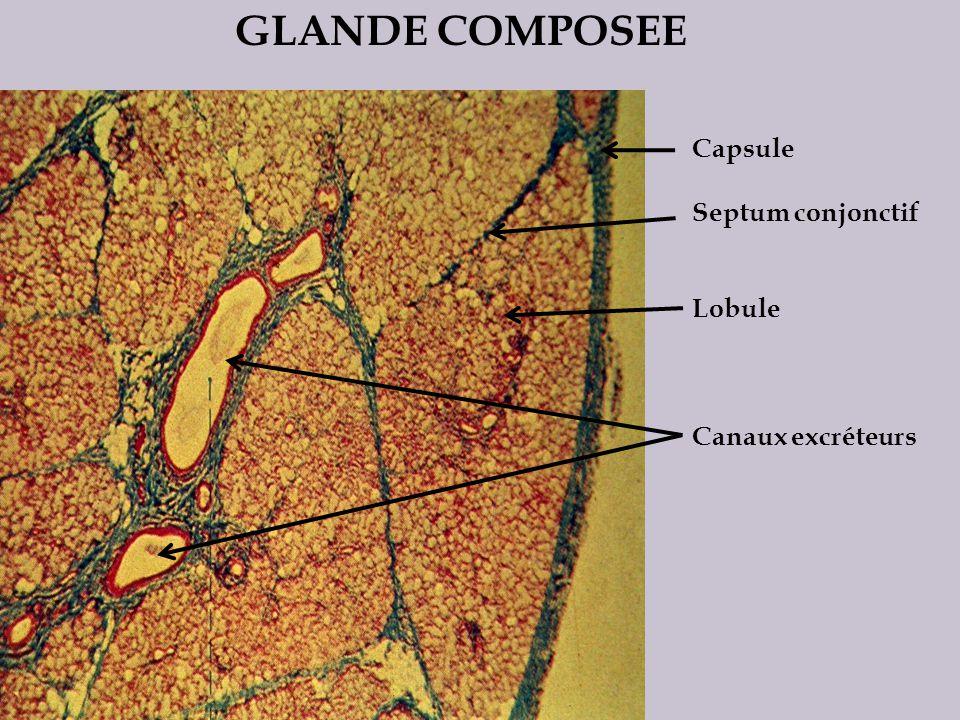 GLANDE COMPOSEE Capsule Septum conjonctif Lobule Canaux excréteurs