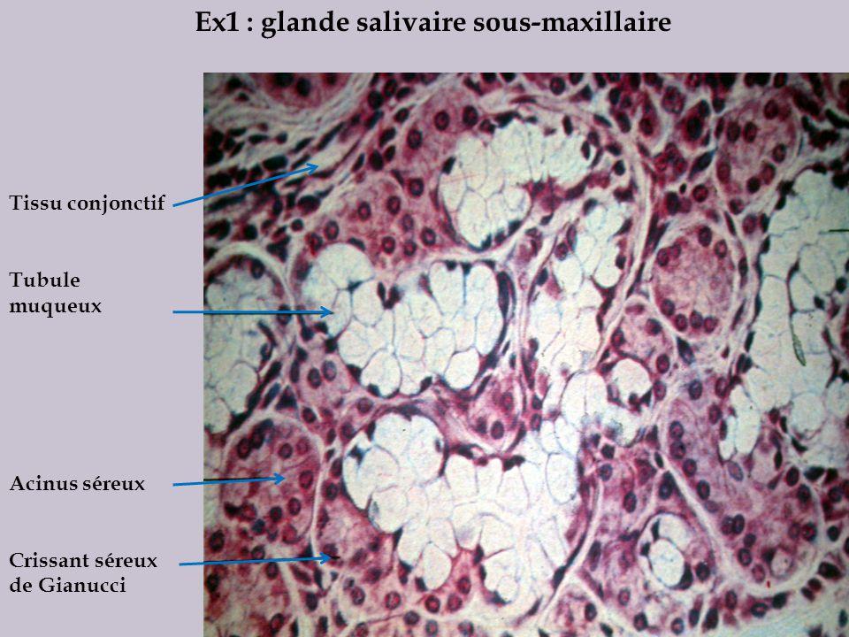 Ex1 : glande salivaire sous-maxillaire Tissu conjonctif Tubule muqueux Acinus séreux Crissant séreux de Gianucci