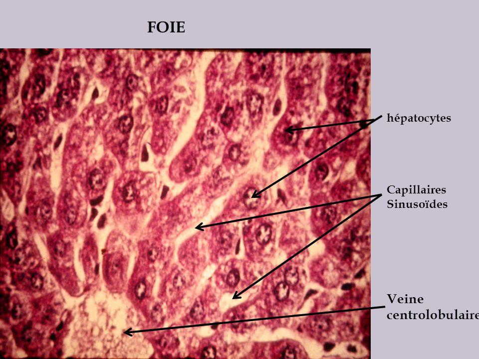 FOIE hépatocytes Capillaires Sinusoïdes Veine centrolobulaire