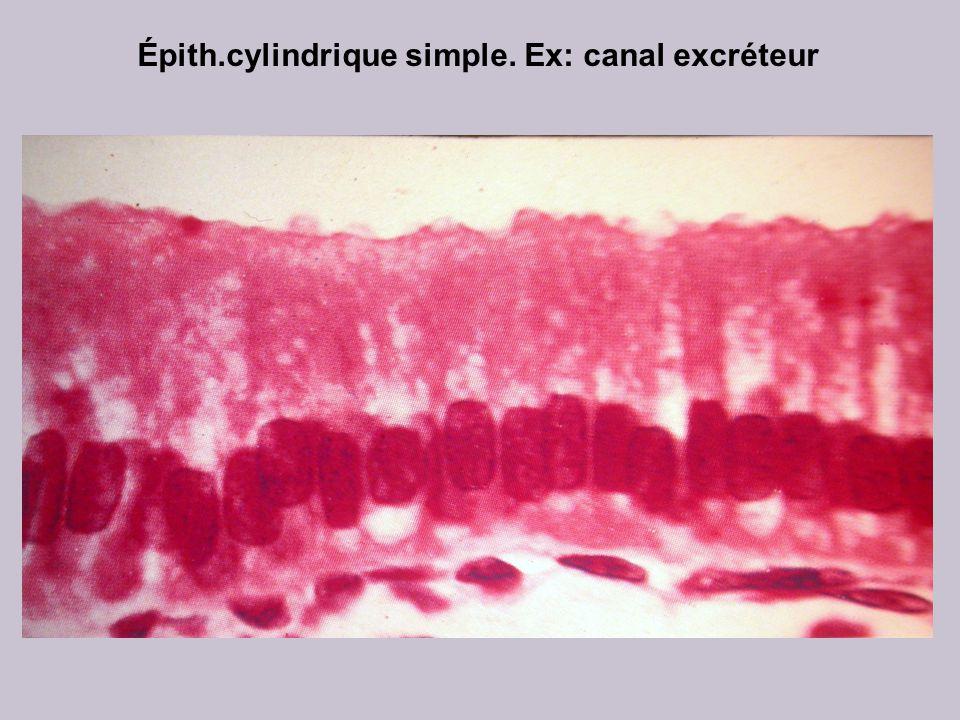 Épith.cylindrique simple. Ex: canal excréteur