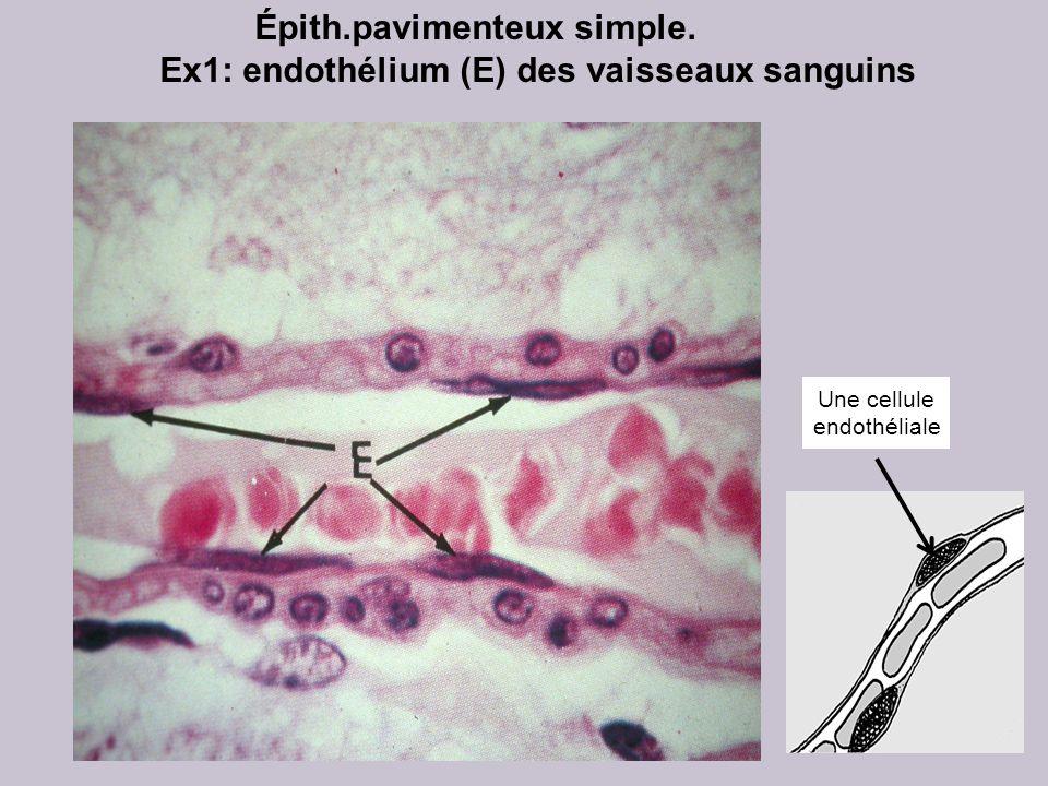 Épith.pavimenteux simple. Ex1: endothélium (E) des vaisseaux sanguins Une cellule endothéliale