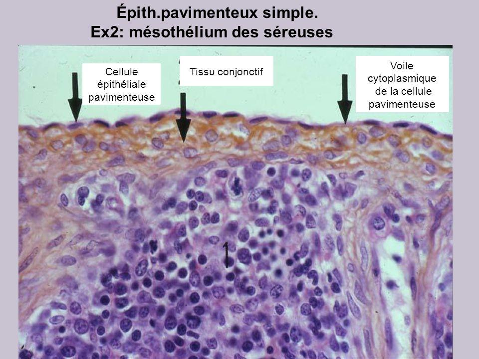 Rate Épith.pavimenteux simple. Ex2: mésothélium des séreuses Cellule épithéliale pavimenteuse Voile cytoplasmique de la cellule pavimenteuse Tissu con