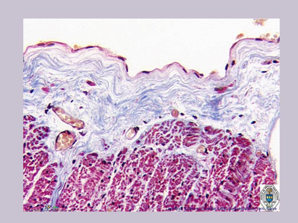 E épithélium cubique simple à bordure en brosse E- épithélium BM- membrane basale BB- bordure en brosse