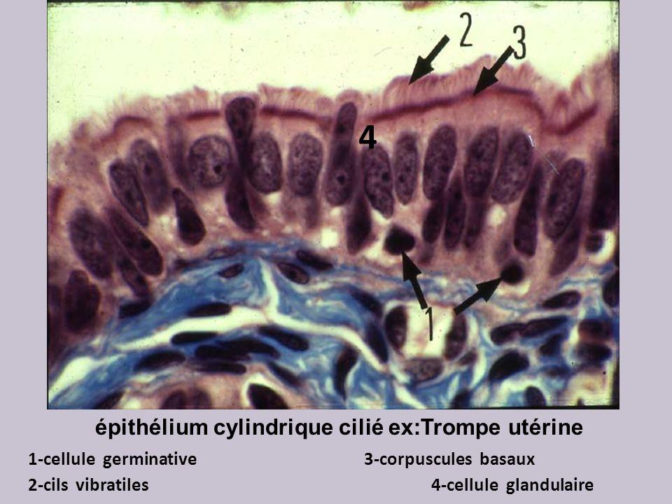épithélium cylindrique cilié ex:Trompe utérine 1-cellule germinative3-corpuscules basaux 2-cils vibratiles 4-cellule glandulaire 4