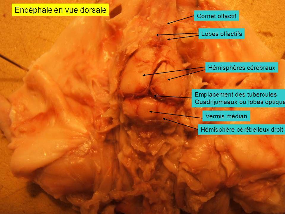 Encéphale en vue dorsale Hémisphère cérébelleux droit Vermis médian Lobes olfactifs Cornet olfactif Hémisphères cérébraux Emplacement des tubercules Q
