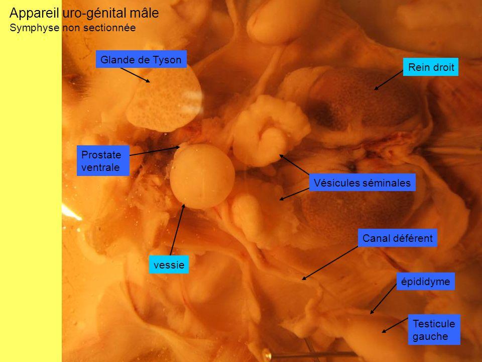 Appareil uro-génital mâle Symphyse non sectionnée Testicule gauche épididyme Canal déférent Vésicules séminales Prostate ventrale vessie Rein droit Gl