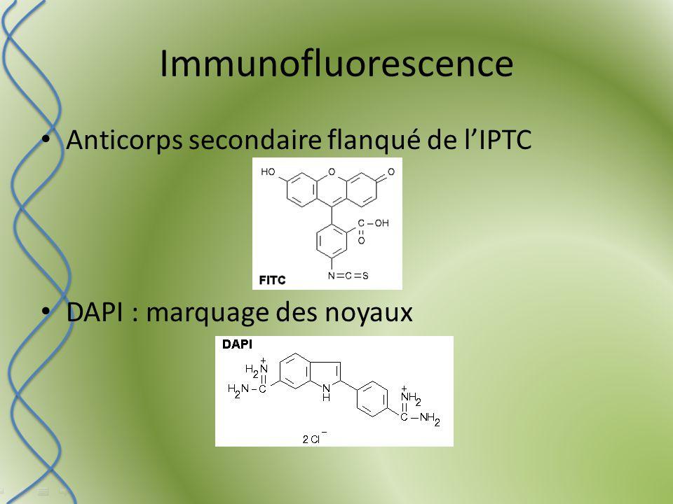 Immunofluorescence Anticorps secondaire flanqué de l'IPTC DAPI : marquage des noyaux