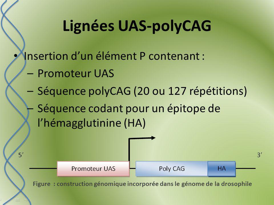 Lignées UAS-polyCAG Figure : construction génomique incorporée dans le génome de la drosophile Insertion d'un élément P contenant : –Promoteur UAS –Séquence polyCAG (20 ou 127 répétitions) –Séquence codant pour un épitope de l'hémagglutinine (HA)