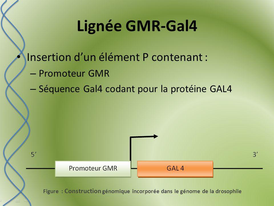 Croisement des 2 lignées Croisement et 3 lignées 20Q et de 3 lignées 127Q par la GMR-GAL4 (fond génétique) Obtention de drosophiles exprimant les polyglutamines dans l'œil.