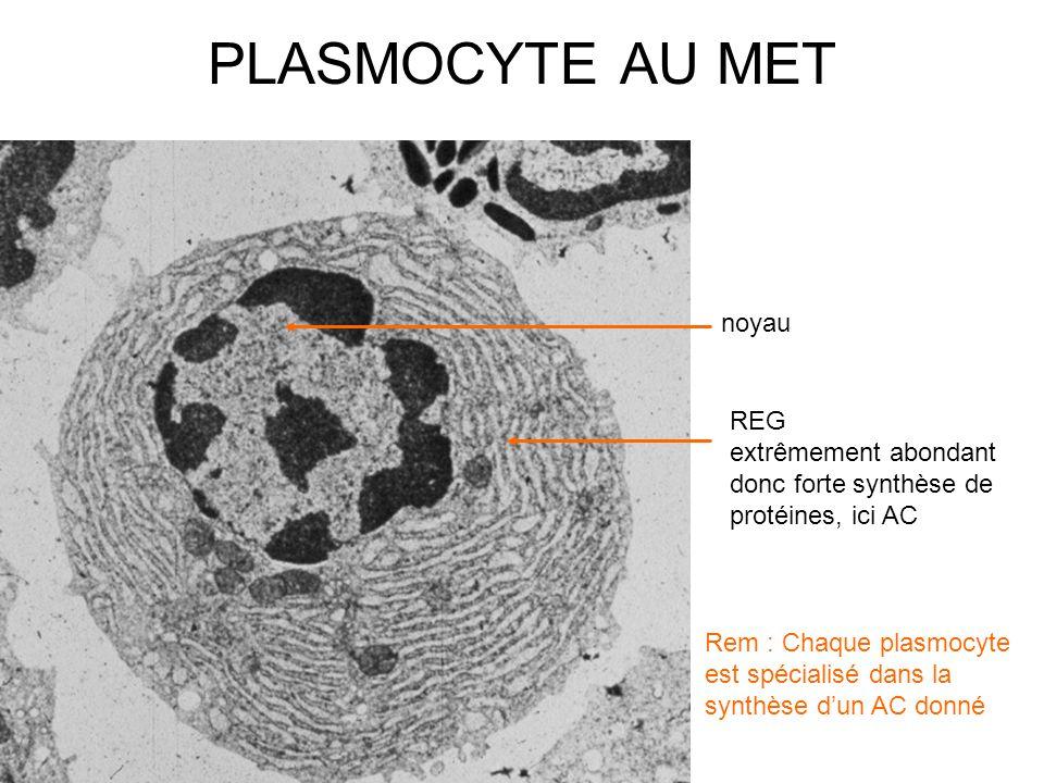 noyau REG extrêmement abondant donc forte synthèse de protéines, ici AC Rem : Chaque plasmocyte est spécialisé dans la synthèse d'un AC donné PLASMOCYTE AU MET
