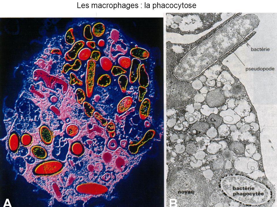 Les T Les T8 = lymphocytes T cytotoxiques