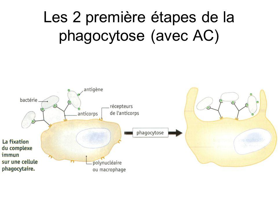 Les 2 première étapes de la phagocytose (avec AC)