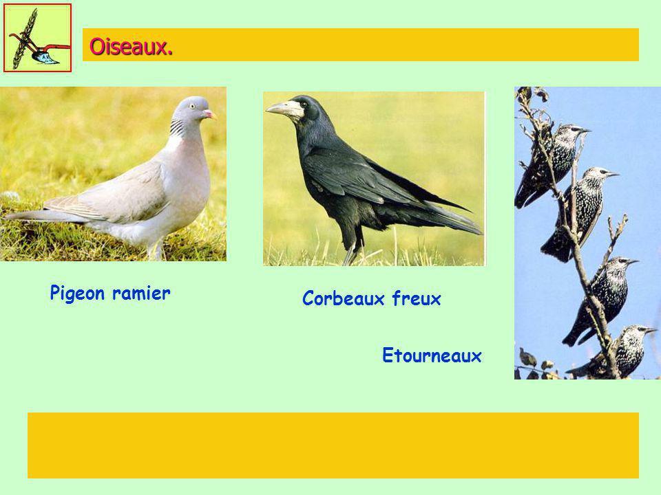 Oiseaux. Etourneaux Corbeaux freux Pigeon ramier