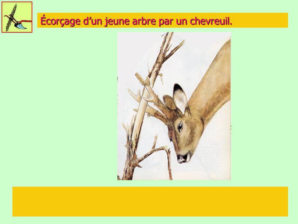 Écorçage d'un jeune arbre par un chevreuil.