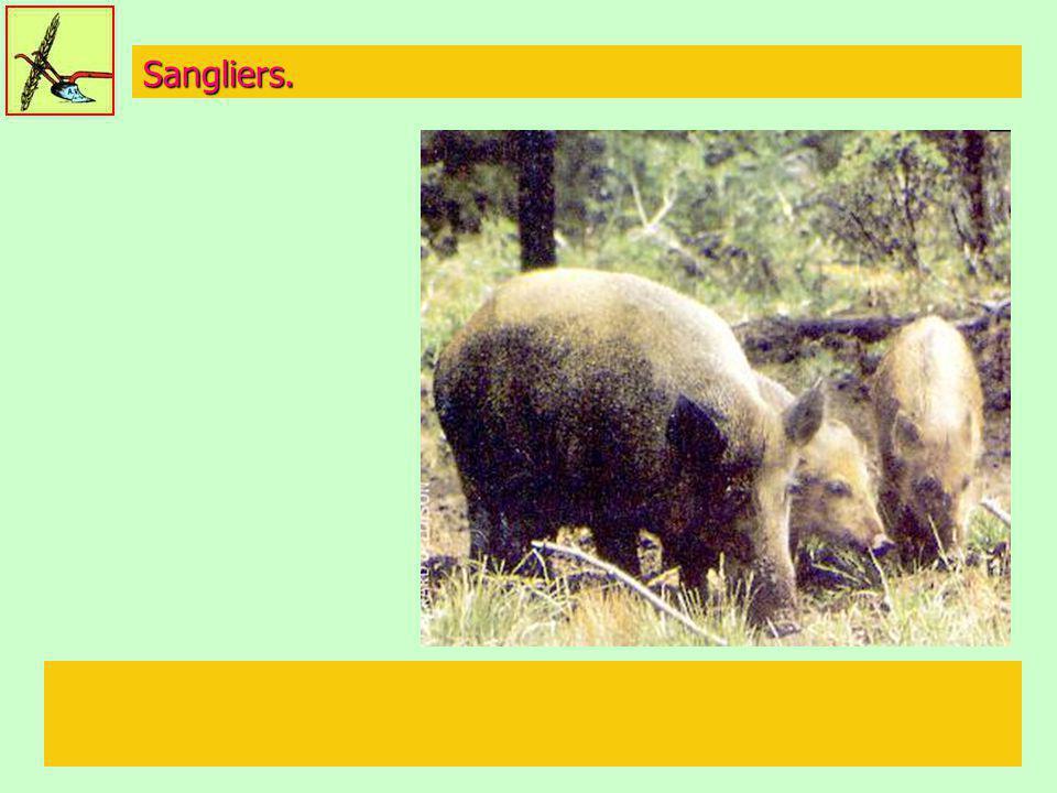 Sangliers.